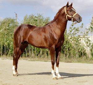 Karabašský kůň