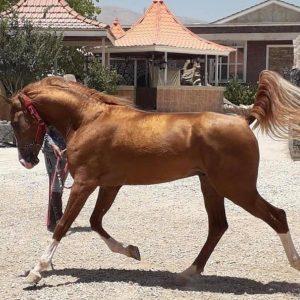 karabakh horse